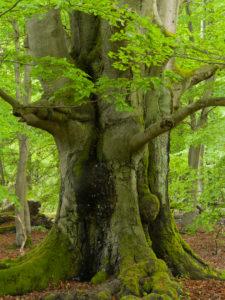 Alte Buche im Frühling, Urwald Sababurg, Reinhardswald, Hessen, Deutschland