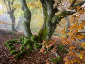Autumnal beeches in the fog, national park Kellerwald, Hessen, Germany