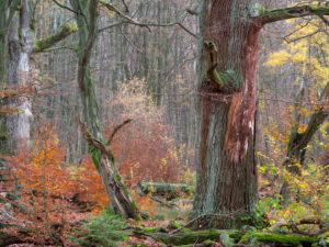 Alte Eiche im Herbst, Urwald Sababurg, Naturpark Reinhardswald, Hessen, Deutschland