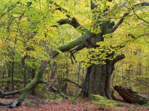 Old beech in autumn, primeval forest castle Saba, nature reserve Reinhard's wood, Hessen, Germany