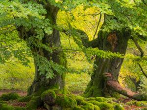 Alte Buchen im Herbst, Nationalpark Kellerwald, Hessen, Deutschland