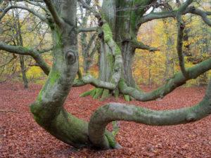 Schlangenbuche im Herbst, Urwald Sababurg, Naturpark Reinhardswald, Hessen, Deutschland