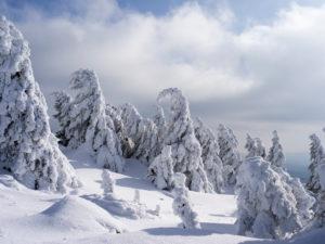 Wintry spruces at the Brocken, national park Harz, Saxony-Anhalt, Germany