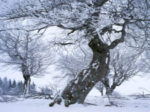Wintry wind beeches at the Schauinsland, Black Forest, Baden-Wurttemberg, Germany