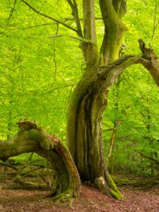 Buche im Frühling, Urwald Sababurg, Naturpark Reinhardswald, Hessen, Deutschland