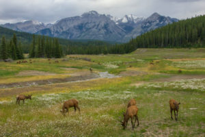 Flower meadow with deers and river, mountains in the background, Rocky Mountains, Canada