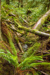 Forest with fallen trees and ferns, Canada