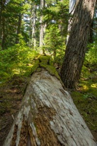 fallen tree in the forest, moss-covered, Canada