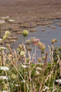 Flora of Iceland