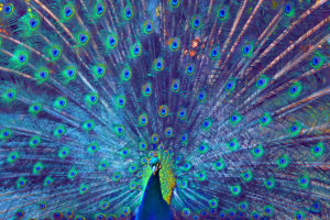 Full frame shot of proud colorfull peacock