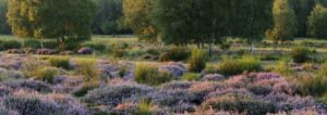 Germany, North Rhine-Westphalia, Wahner Heide, heath blossom in the evening light, broom heather, Calluna vulgaris,