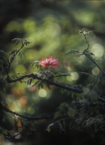 Powder puff shrub, Calliandra tweedii, South America, Brazil,