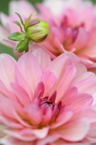 Water lily - Dahlia, Dahlia x hoard sis 'Sourir de Crozon', blossoms, bud, close-up,