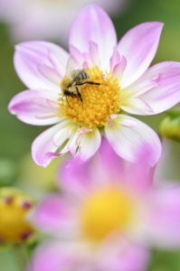 Ruff dahlia, Dahlia x hoard sis 'Alps Diamond', with honeybee, Apis mellifera,