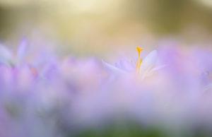 Spring crocus, Crocus vernus, Germany, North Rhine-Westphalia, Cologne, garden,