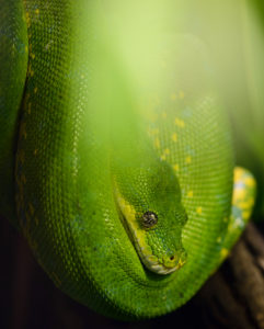 Green tree python, Morelia viridis, New Guinea, captive,