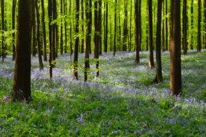 Belgium, Flanders, 'Hallerbos' (forest), beech forest, copper beech, Fagus sylvatica, bluebells, Hyacinthoides non-scripta,