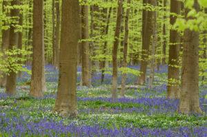 Belgium, Flanders, Hallerbos, Beech forest, copper beeches, Fagus sylvatica with bluebell, Hyacinthoides non-scripta,