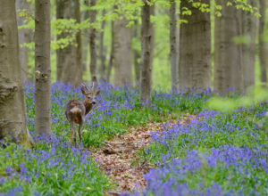 Belgium, Flanders, 'Hallerbos' (forest), roe deer, Capreolus capreolus, in a beech forest, copper beeches, Fagus sylvatica, bluebells, Hyacinthoides non-scripta,