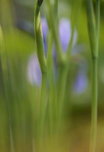 Siberian iris, iris sibirica, blur, close-up,