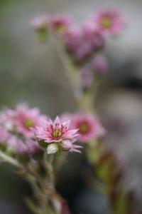 Blossom of the houseleek, Sempervivum, blur, close-up,