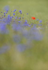 Cornflowers, Centaurea cynanus, red poppy, Papaver rhoeas, meadow,