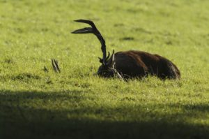 Red deer, Cervus elaphus, male, rutting season, exhausted, resting