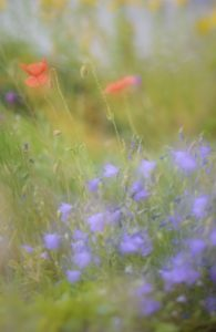 red poppy, Papaver rhoeas, bluebell, Campanula rotundifolia,