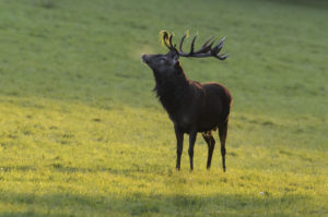Red deer, Cervus elaphus, male during the rut,