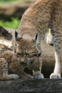Eurasian lynx, Lynx lynx, mother animal carries young animal,