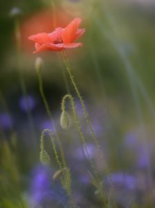red poppy, Papaver rhoeas, close-up, blur,
