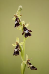 fly orchid, Ophrys insectifera, blossoms, close-up,