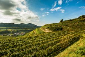 on a beautiful sunny autumn day on the Schneckenberg, Achkarren, Baden Württemberg, Germany,