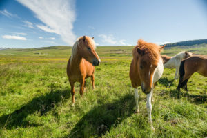 Icelandic horses (equus) on a pasture. Reykholtsdalur, Vesturland, Iceland,