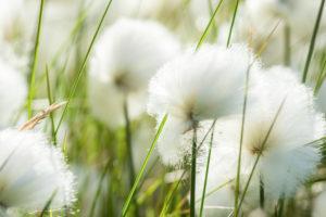 Cotton grasses (Eriophorum) grow in a meadow on Iceland. (Westfjords) Vestfirðir, Iceland,
