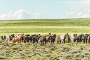 Icelandic horses (equus) on a pasture. Northern Urland Vestra, Iceland,