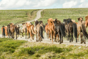 Icelandic horses (equus) gallop on a dusty gravel track. Northern Urland Vestra, Iceland,