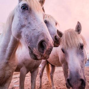 White Camargue horses (Equus) under a pink sky on a paddock of the 'France of passion', horse farm 'Manade of the Baumelles', (Les) Saintes-Maries-de-la-Mer, Bouches-du-Rhône, Camargue, Provence-Alpes-Côte d'Azur, France