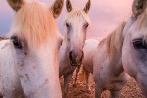 White Camargue horses (Equus) standing  on the paddock under a pink twilight sky, 'France of passion', horse farm 'Manade of the Baumelles' horse's court, (Les) Saintes-Maries-de-la-Mer, Bouches-du-Rhône, Camargue, Provence-Alpes-Côte d'Azur, France