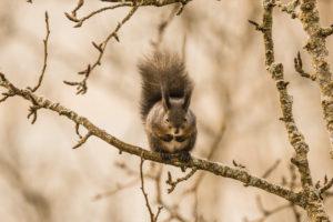 Apple tree, squirrel (Sciurus vulgaris)