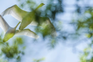Swans (Cygnus olor) fly in the sky over the Iller near Legau, Bavaria, Germany
