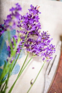 Freshly picked lavender flowers (Lavandula angustifolia, Syn. Lavandula officinalis, Lavandula vera) lie on a cloth, next to it are garden tools and a string to tie the lavender into a bouquet. Germany.