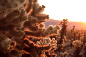 USA, United States of America, california, palm Springs, Joshua Tree National Park, Cholla Cactus Garden
