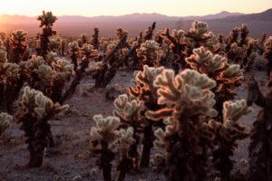 USA, United States of America, california, palm Springs, Joshua Tree National Park, Cholla Cactus Garden