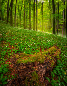 Europe, Germany, Bavaria, Aschau am Inn, Wild Garlic Field in Forest,