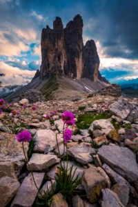Tre Cime di Lavaredo, Sexten, Belluno, Rifugio Auronzo, South Tyrol, Dolomites, Italy, Flowers and rocks in foreground,