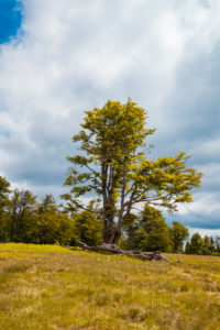 Europe, Germany, Bavaria, Bavarian Forest, National Park, alpine meadow with tree