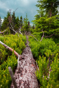 Europe, Germany, Bavaria, Bavarian Forest, National Park, fallen tree at ground
