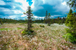 Europe, Germany, Bavaria, Bavarian Forest, National Park, blooming cotton gras field with tree