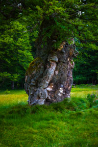 Europe, Germany, Bavaria, Bavarian Forest, National Park, old tree trunk,